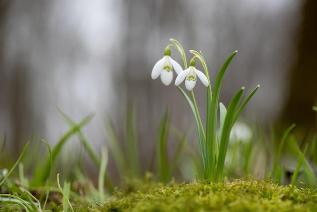 Przebiśnieg wiosenne kwiaty. świeża zielona studnia dopełniająca białe kwiaty przebiśniegów