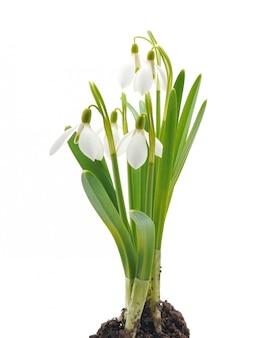 Przebiśniegi (galanthus nivalis) na białym tle