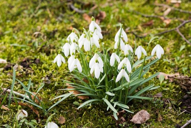 Przebiśniegi kwiaty na tle przyrody wiosną, małe białe opadające kwiaty w kształcie dzwonka.