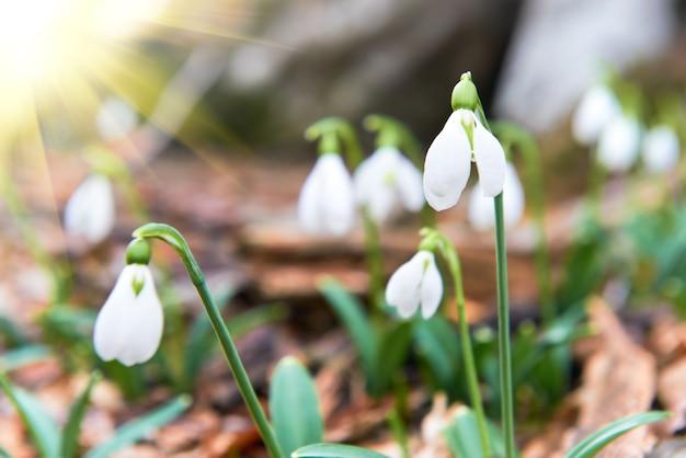 Przebiśniegi pierwsze wiosenne kwiaty i światło słoneczne z promieniami w lesie