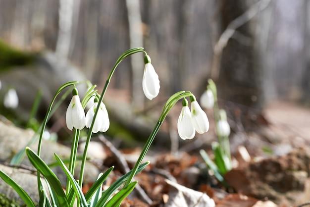Przebiśniegi pierwsze wiosenne kwiaty w lesie