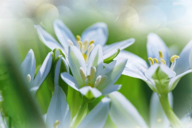 Przebiśniegi w sezonie wiosennym