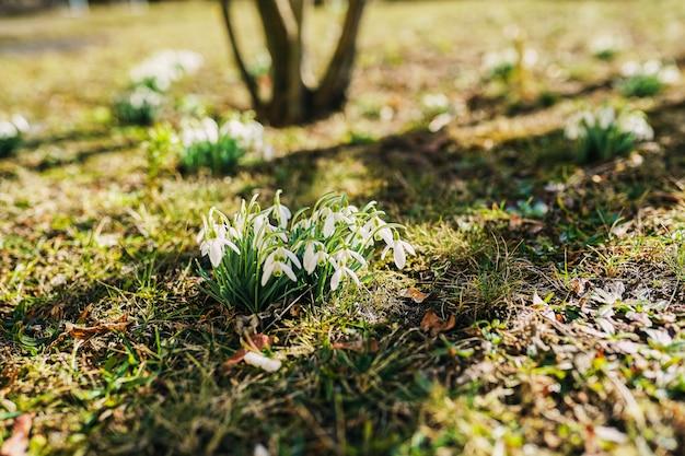 Przebiśniegi w słońcu. wczesne wiosenne kwiaty.