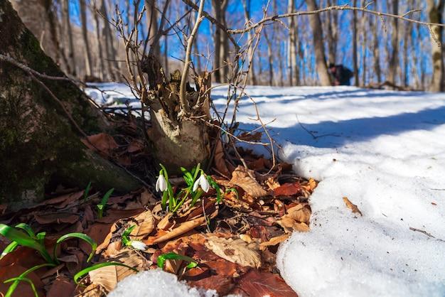 Przebiśniegi w wiosennym lesie