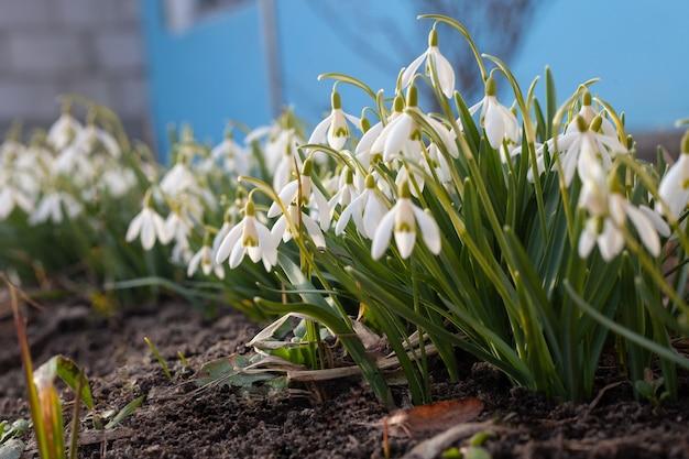 Przebiśniegi wiesiołka rosną w rzędzie wiosną w promieniach zachodzącego słońca.