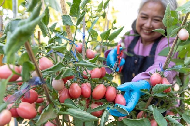 Przechodzić na emeryturę starsza kobieta szczęśliwa i zbiera czerwonych pomidory w kuchennym ogródzie.