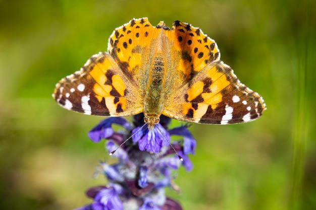 Przecinek butterfly polygonia c-album. pomarańczowy motyl w czarne paski siedzi na liliowym kwiecie na polu, letni dzień, czerwiec