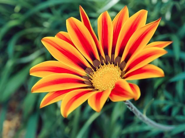 Przed świtem czerwony kwiat w paski lub kwiat gazania na zielonych liściach rośnie w ogrodzie.