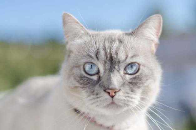 Przedni portret kota o niebieskich oczach