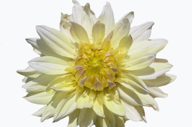 Przednie górne zdjęcie białego z żółtą środkową dalią na białym tle