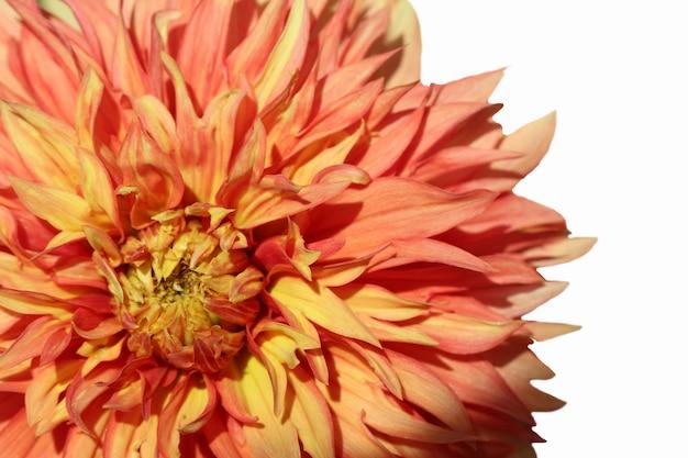 Przednie górne zdjęcie makro pomarańczowego kwiatu dalii na białym tle