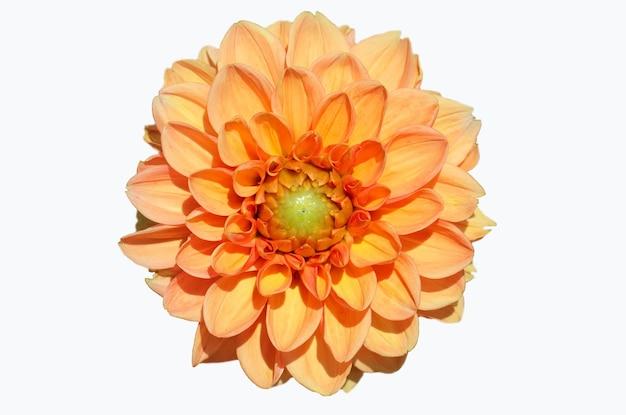 Przednie górne zdjęcie pomarańczowej dalii na białym tle