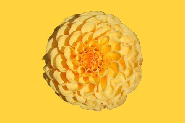 Przednie górne zdjęcie żółtego kwiatu dalii na białym tle