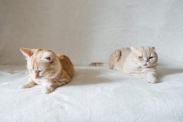 Przedstawiamy dwa koty adoptujące drugiego kota, dodając drugiego kota do swojego domowego spokojnego domu multicat