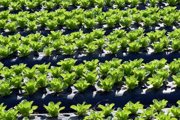 Przegląd plantacji sałaty