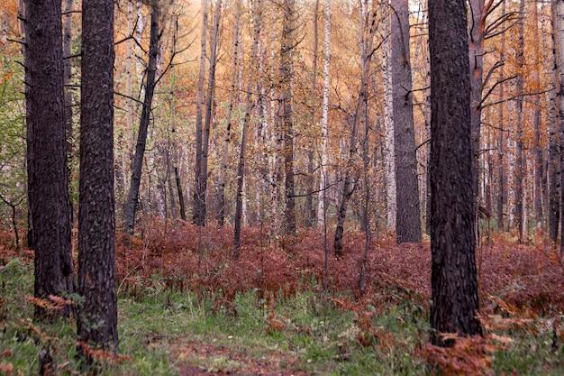 Przejrzysty jesienny las z powalonymi drzewami i suchymi paprociami zmieniające się pory roku