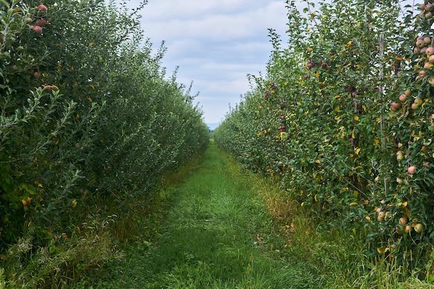 Przejście między rzędami młodych drzew owocowych na plantacji jabłoni w dolinie między górami