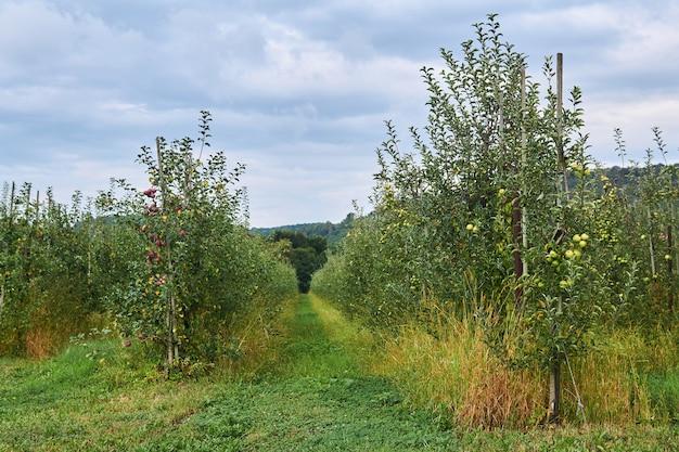 Przejście między rzędami młodych drzew owocowych w sadach jabłoniowych w dolinie między górami