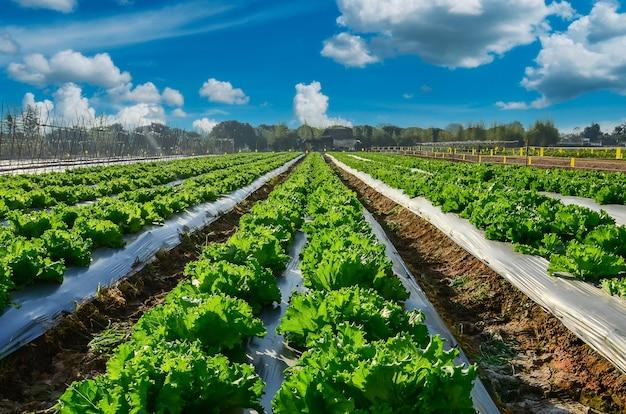 Przemysł rolniczy. rosnąca sałata sałatkowa na polu z błękitnym niebem