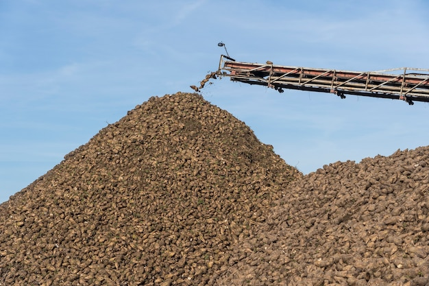 Przenośnik dźwigowy kombajnu wyładowującego buraki cukrowe. maszyna do zbioru pracująca na gruntach rolnych. sprzęt rolniczy. dźwig przenośnikowy rozładowujący bulwy buraków cukrowych z ciężarówki na ziemię