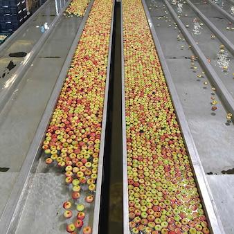 Przenośnik taśmowy z jabłkami. linia produktów fabryki żywności