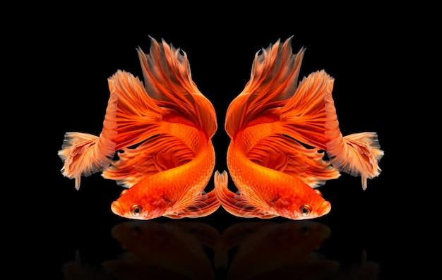 Przenoszenie pięknych wielobarwnych ryb syjamskich betta lub półksiężycowych bojowników betta splendens