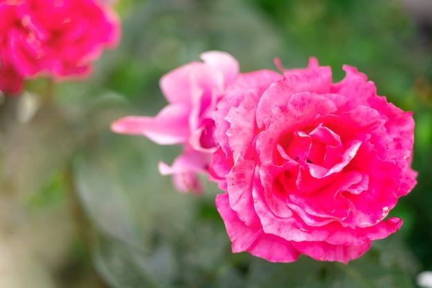 Przepięknie kwitnące różowe róże w ogrodzie latem, promienie słońca na kwiatach