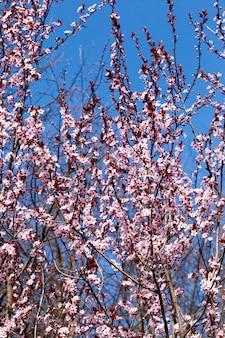 Przepięknie oświetlone światłem słonecznym świeże kwiaty wiśni w okresie wiosennym, kwiaty wiśni o nietypowym różowym kolorze z niewielką głębią ostrości, ozdobne drzewa podczas kwitnienia w ogrodzie, zbliżenie
