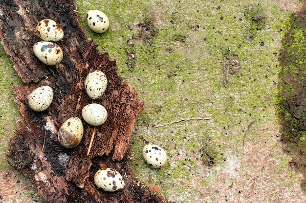 Przepiórki, kurze jaja zdobione na wielkanoc na korze drzewa i naturalnym tle mchu z miejsca na kopię.