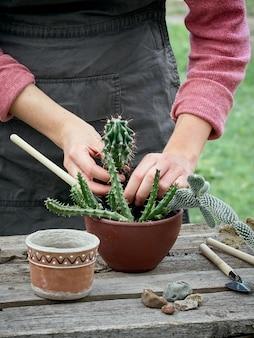 Przesadzanie kaktusa w doniczce.