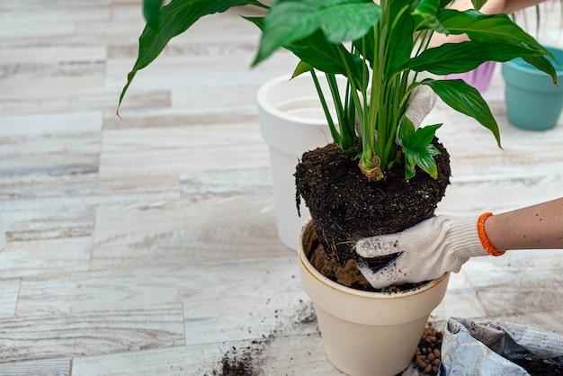 Przesadzanie kwiatów w pomieszczeniach, przeszczep rośliny doniczkowej w domu