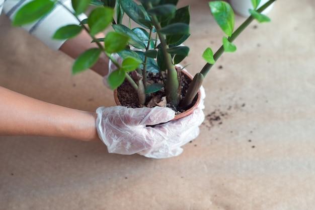 Przesadzanie kwiatu zamiokulkas womans ręce trzymając homeplant