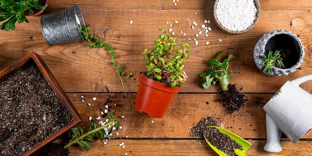 Przesadzanie roślin domowych do doniczek, widok z góry. baner koncepcja opieki soczyste dla witryny sieci web. zdjęcie wysokiej jakości