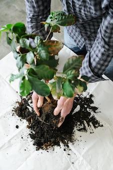 Przesadzanie rośliny doniczkowej.