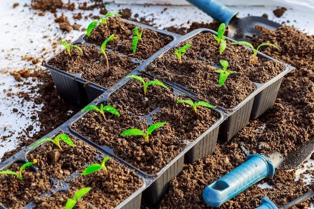 Przesadzanie sadzonek. przesadzanie młodych sadzonek papryki do plastikowych doniczek. prace ogrodowe.