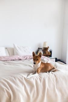 Prześliczny, śliczny i uroczy psi szczeniak basenji odpoczywa na łóżku, samotny piesek czeka na właściciela w domu