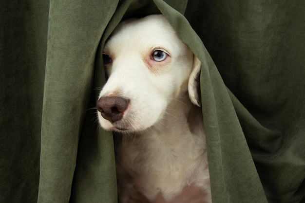 Przestraszony lub przestraszony szczeniak pies o fajerwerkach, burzy lub głośnych dźwiękach kryje się za zasłoną.
