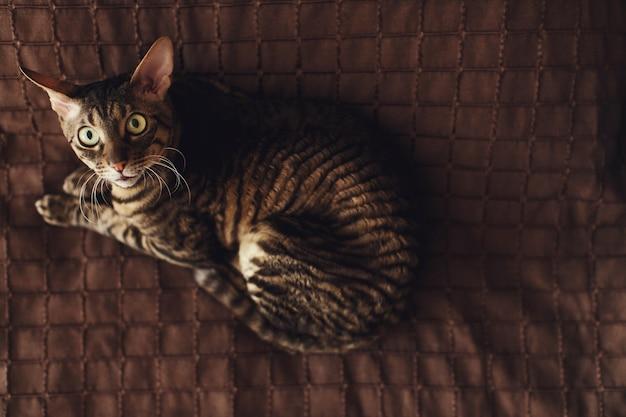 Przestraszony okryty kot leży na brązowym dywanie