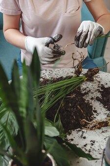 Przeszczep roślin, roślina doniczkowa do pielęgnacji kobiet i roślina do przesadzania