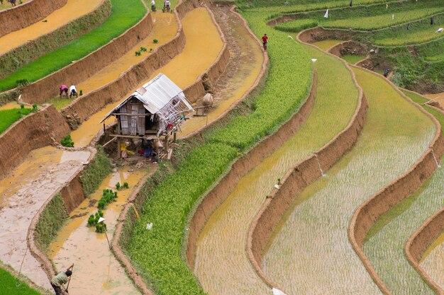 Przeszczep ryżu