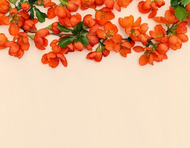 Przetargowe wiosenne jasne kwiaty pigwy z bliska na białym tle na pastelowym tle z miejscem na projekt