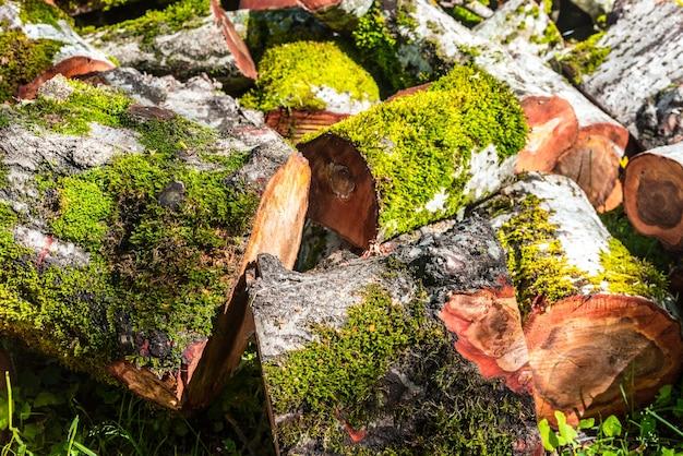 Przetarte drzewo pnia w lesie, drewno opałowe