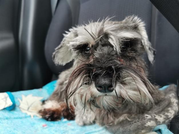 Przewóz psa samochodem. sznaucer miniaturowy siedzący na fotelu samochodowym, patrzący na ciebie emocjonalnie.