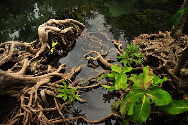 Przezroczysta woda w tropikalnym stawie lub rzece, jezioro z korzeniami drzew namorzynowych. krabi, tajlandia.
