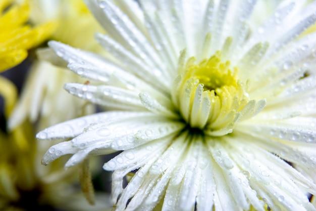 Przezroczyste piękne kropelki wody na płatkach białego kwiatu chryzantemy / makro / makro.