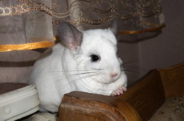 Przy oknie siedzi biała szynszyla. śliczny domowy zwierzak.