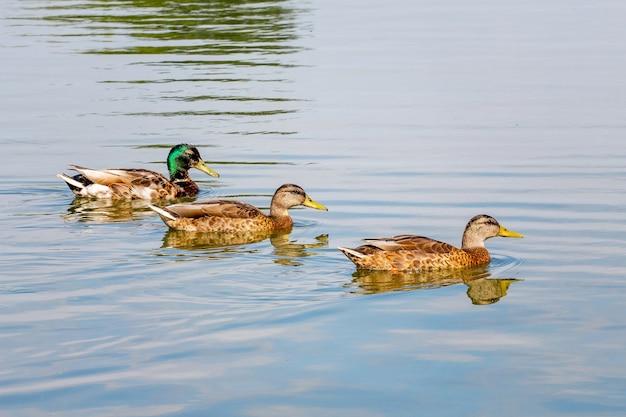 Przy słonecznej pogodzie wzdłuż rzeki pływają kaczki domowe