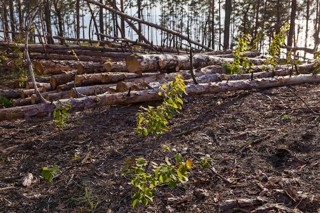 Przy wyrębie w lesie. działka leśna oczyszczona z drzew. krajobraz stacji pozyskiwania drewna z dużą ilością ściętych drzew