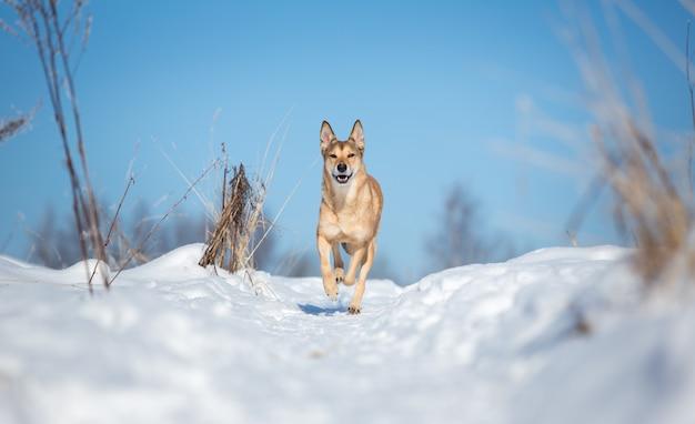 Przybłąkany pies biega kierunek na zimy polu. kundel w śniegu