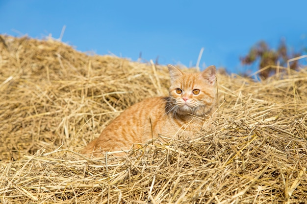 Przybłąkany tygrysi kota obsiadanie na suchej trawy słomie
